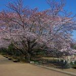 アンデルセンの桜